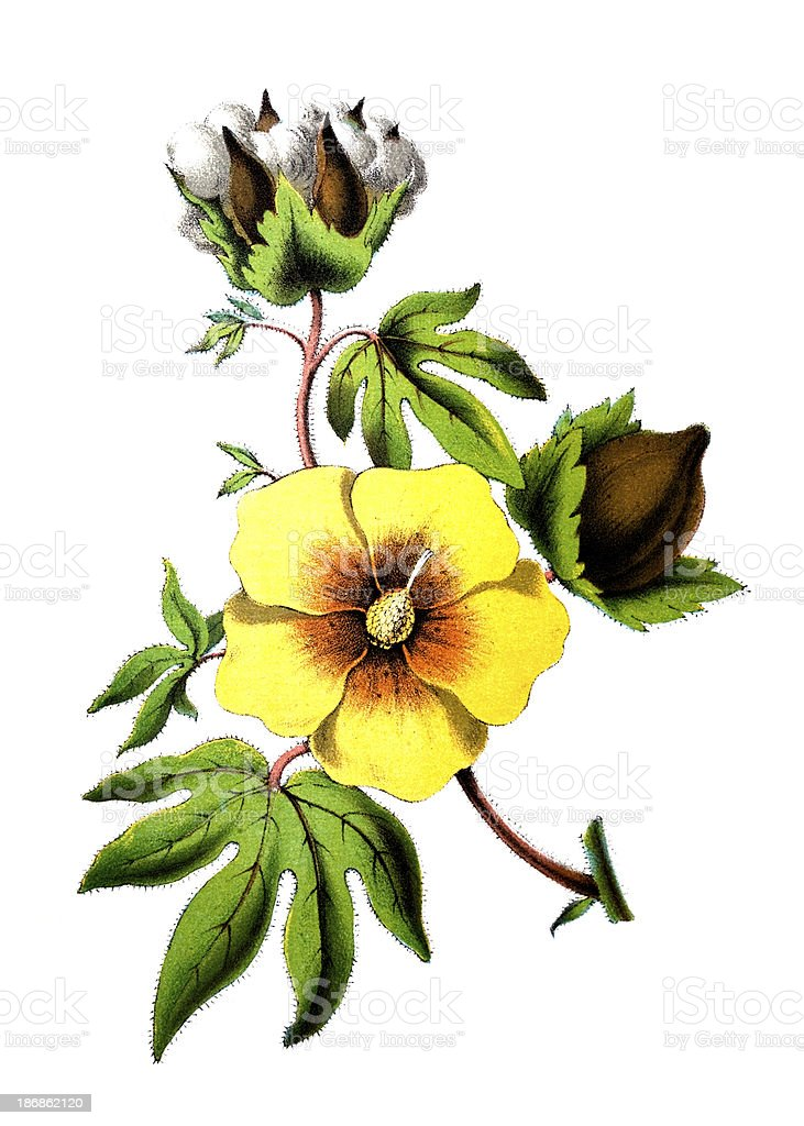19th century colour engraving of a cotton flower vector art illustration