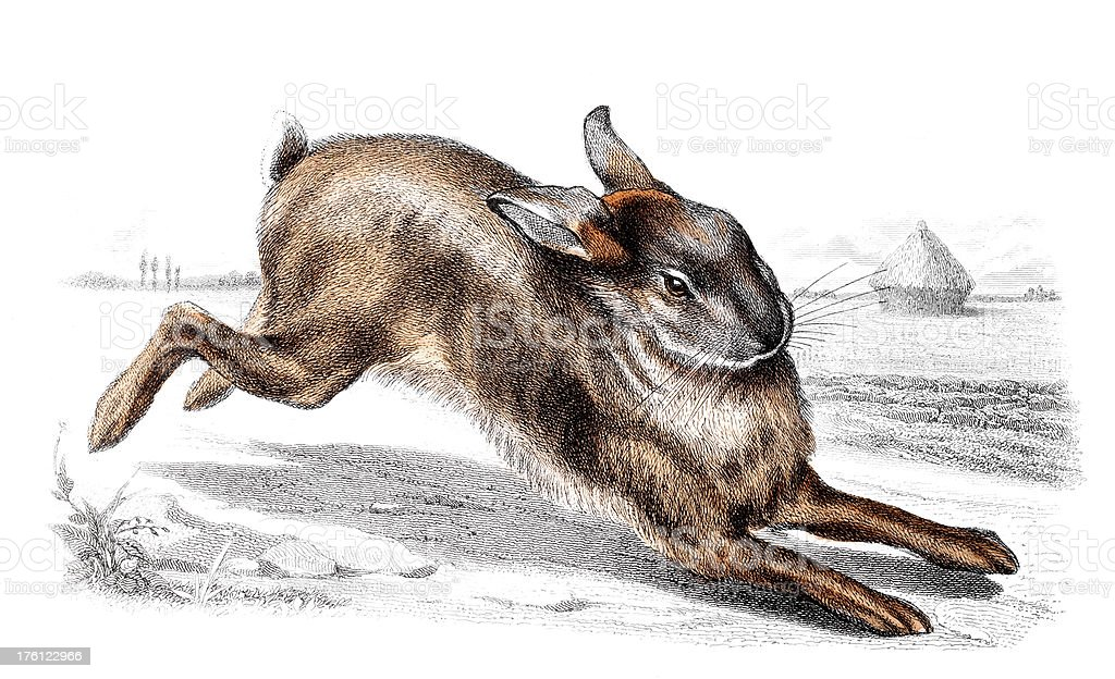 19th century colour engraving of a hare royalty-free stock vector art