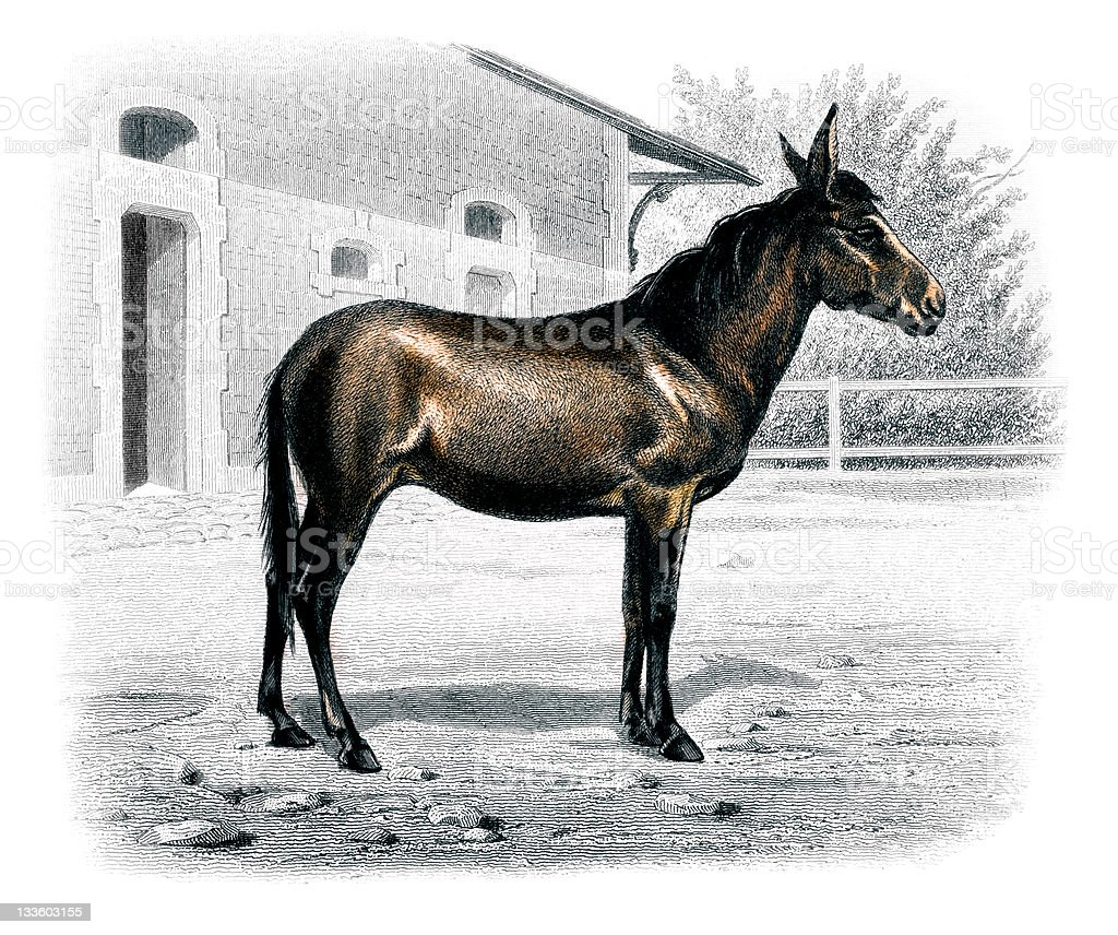 19th century colour engraving of a mule royalty-free stock vector art