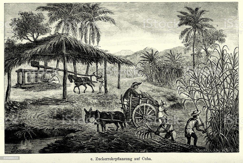 19th Century Cuba - Sugar cane plantation vector art illustration