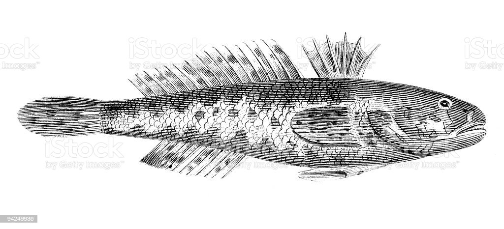 19th century engraving of a black goby fish vector art illustration