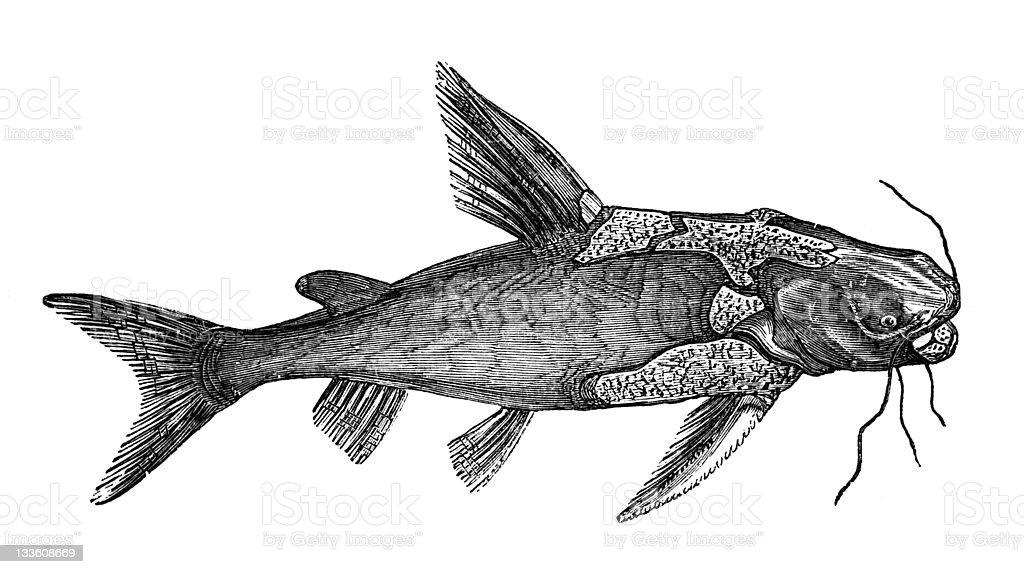 19th century engraving of a catfish vector art illustration