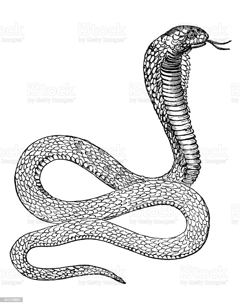 19th century engraving of a cobra smake royalty-free stock vector art
