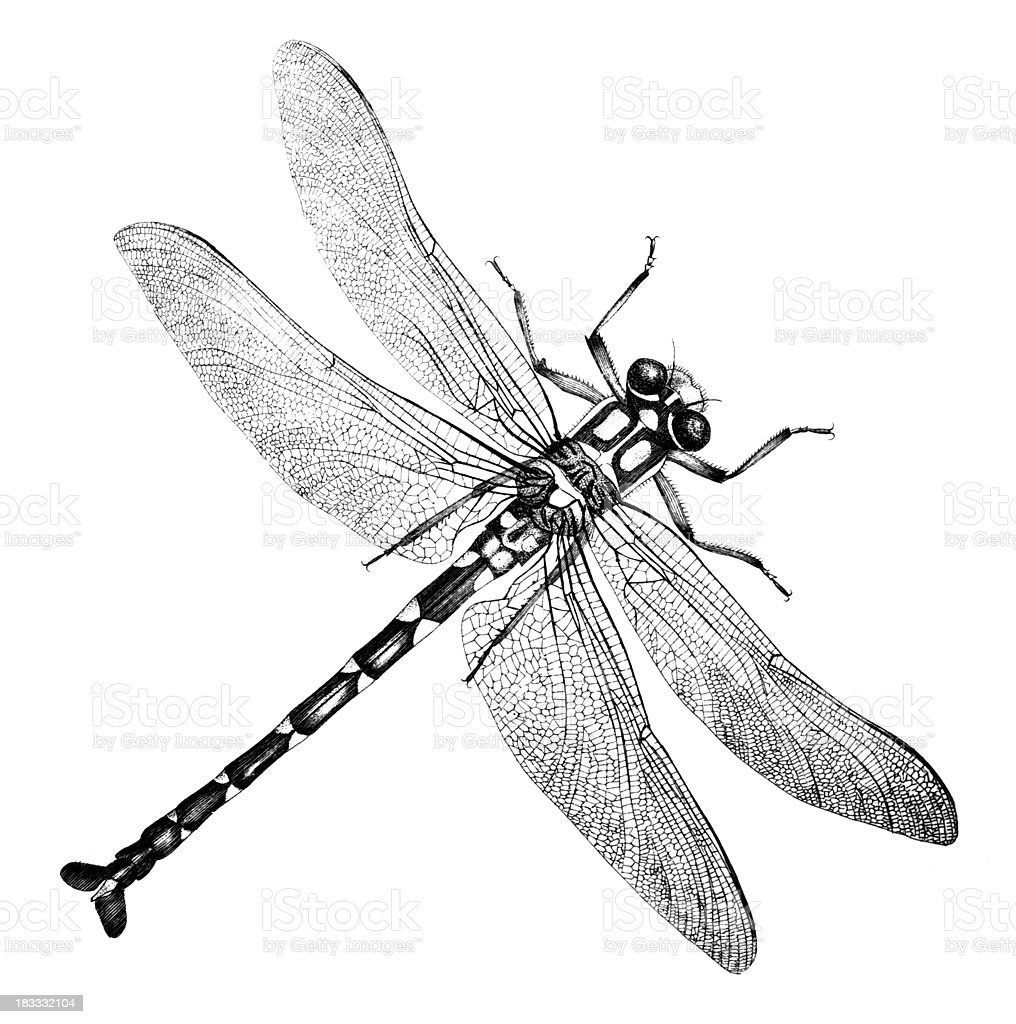 19th century engraving of a dragonfly vector art illustration