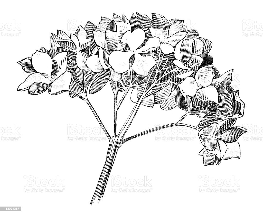 19th century engraving of a flower royalty-free stock vector art