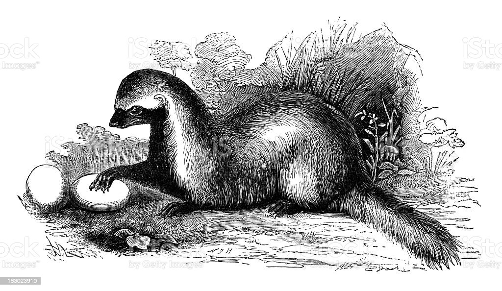 19th century engraving of a 'Grison' or weasel vector art illustration