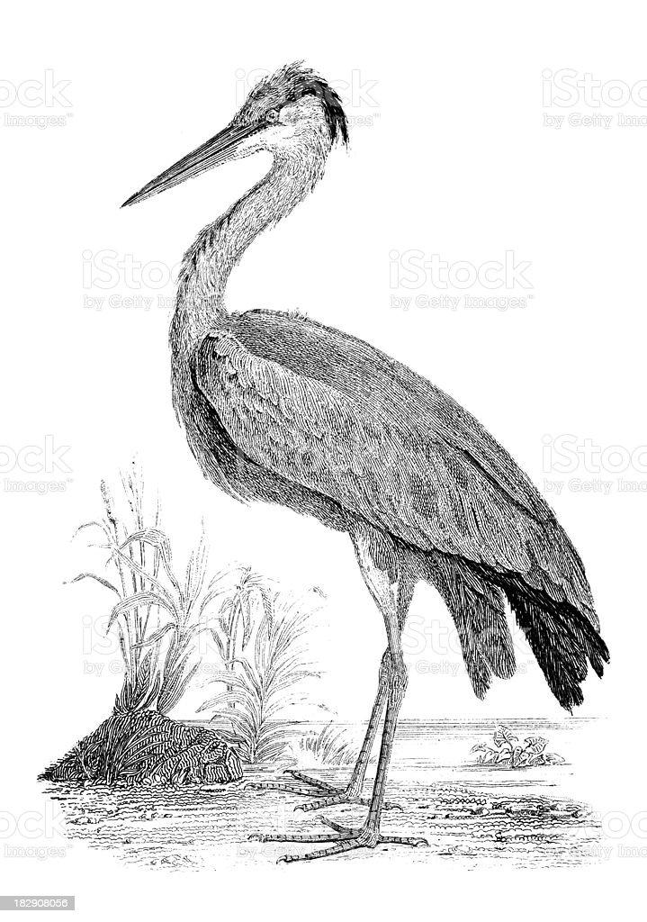 19th century engraving of a heron royalty-free stock vector art