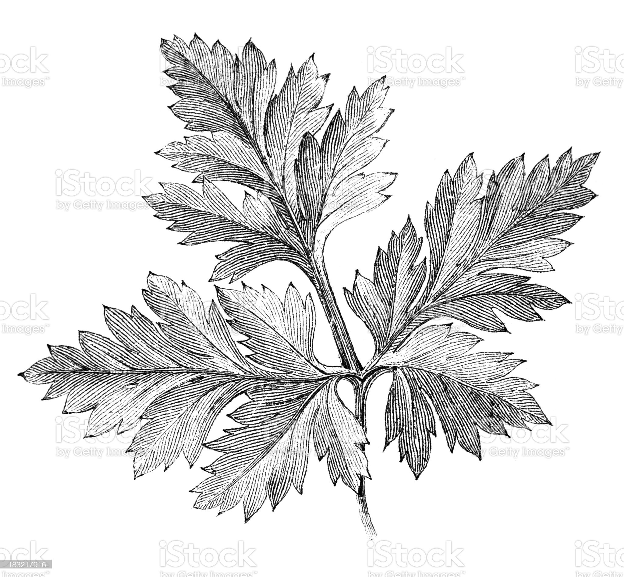 19th century engraving of a leaf royalty-free stock vector art