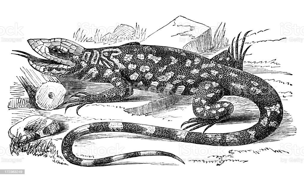 19th century engraving of a lizard or teguexin royalty-free stock vector art