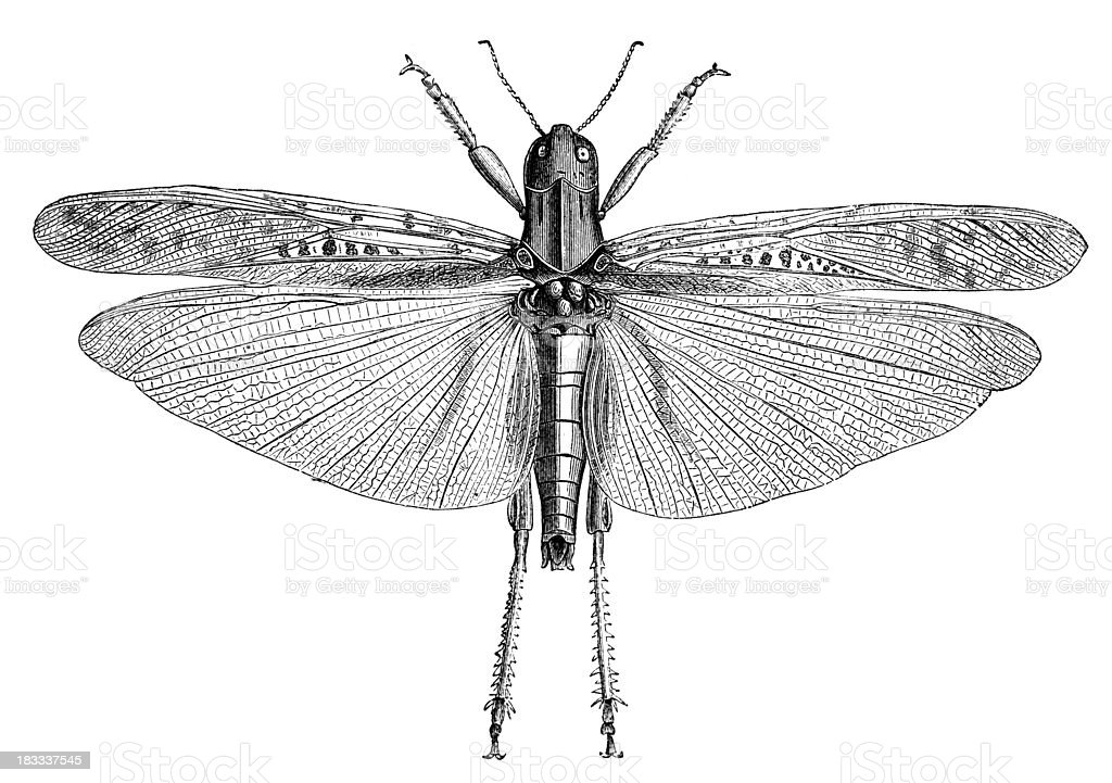 19th century engraving of a locust vector art illustration