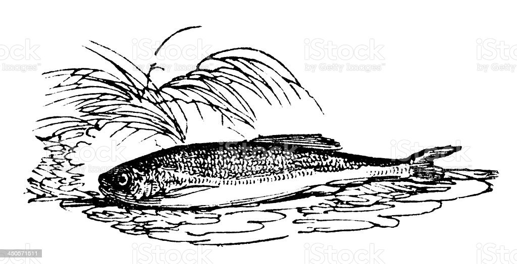19th century engraving of a minnow vector art illustration