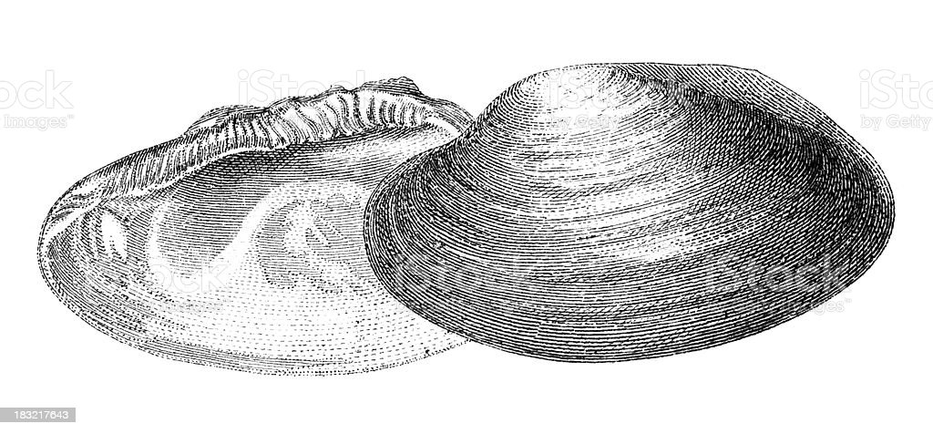 19th century engraving of a mussel shell vector art illustration