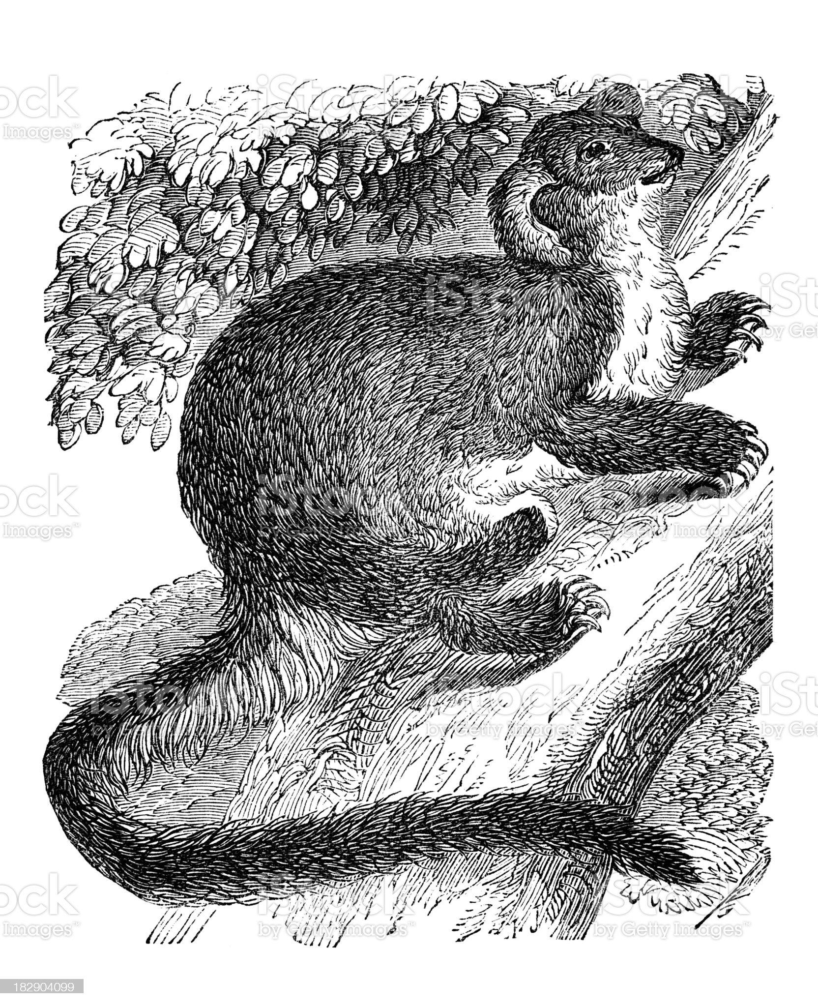 19th century engraving of a Petaurus marsupial royalty-free stock vector art