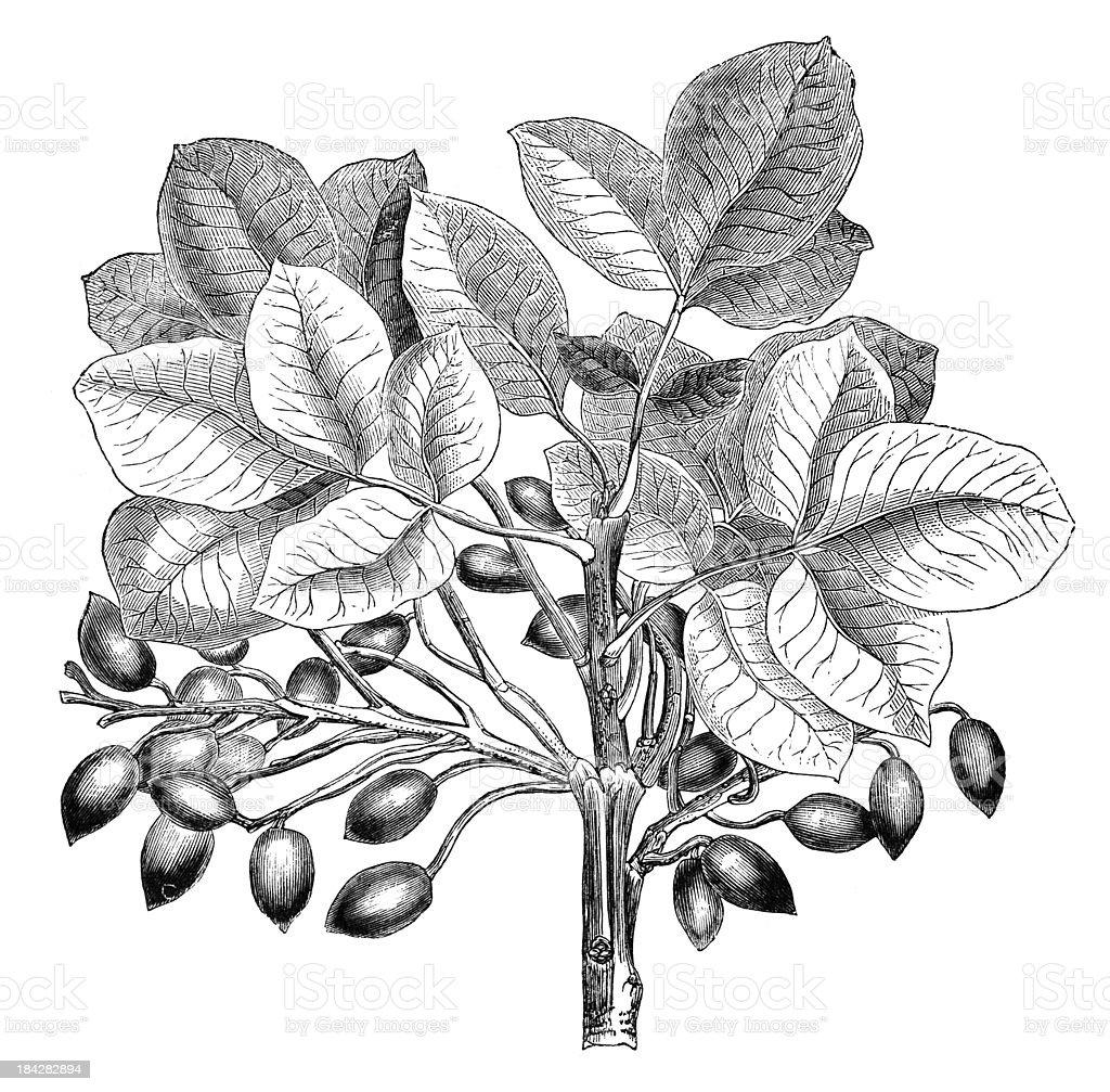 19th century engraving of a pistashio tree vector art illustration