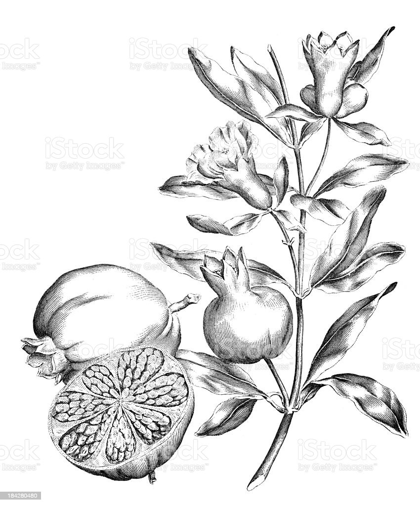 19th century engraving of a pomegranate fruit and plant vector art illustration