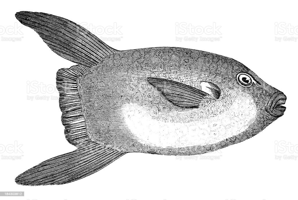 19th century engraving of a sun fish royalty-free stock vector art