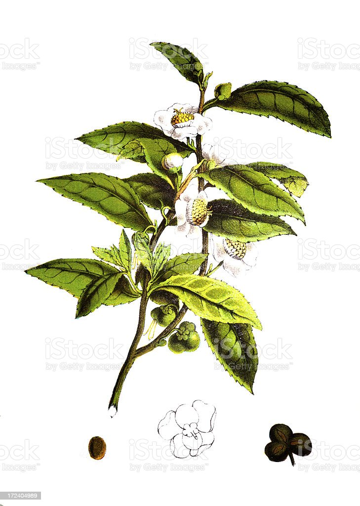 19th century engraving of a tea plant royalty-free stock vector art