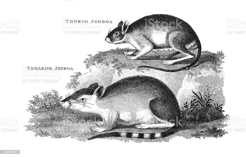 19th century engraving of a 'Torrid' and 'Tamarisk Jerboa' vector art illustration