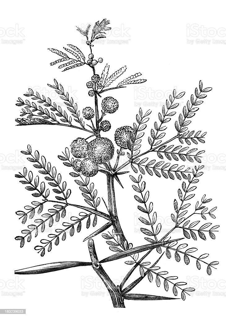 19th century engraving of an acacia plant vector art illustration
