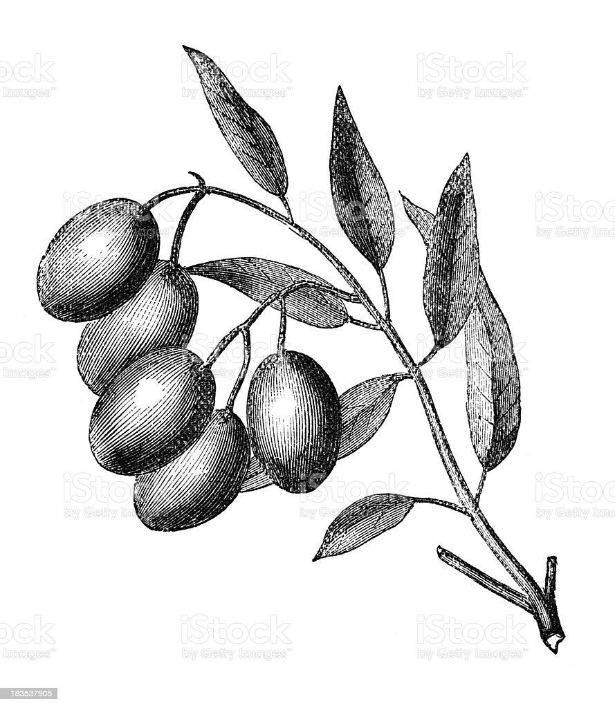 19th century engraving of an olive plant vector art illustration