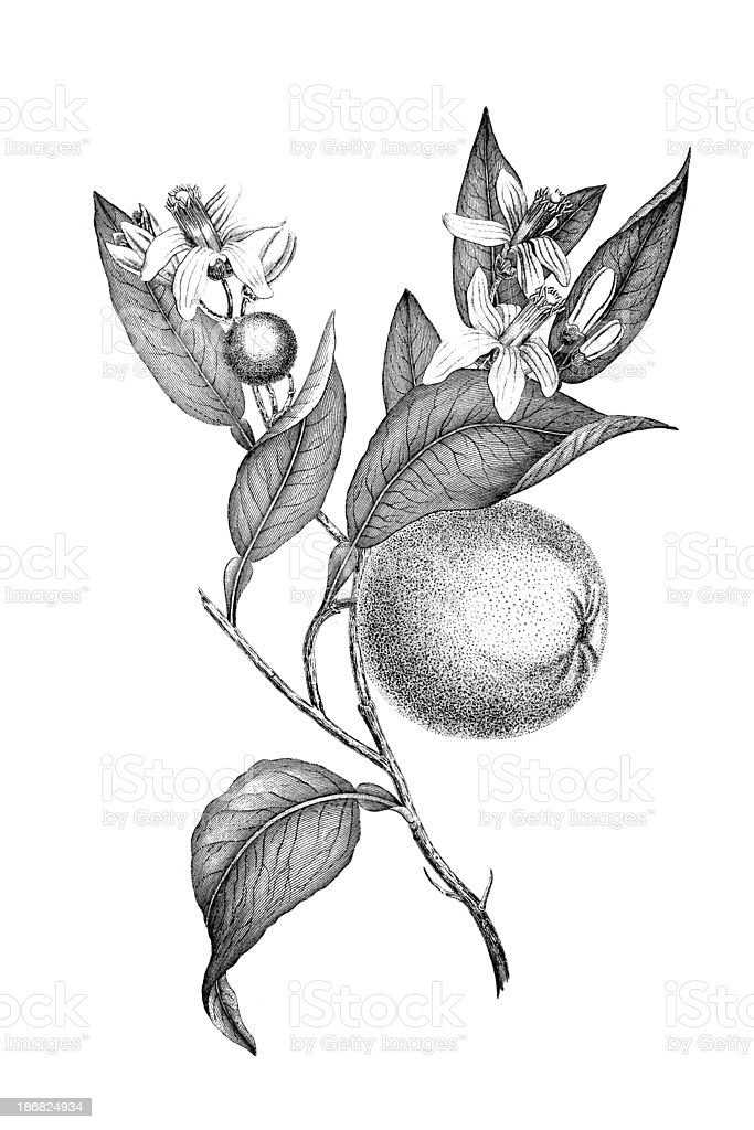 19th century engraving of an orange plant royalty-free stock vector art