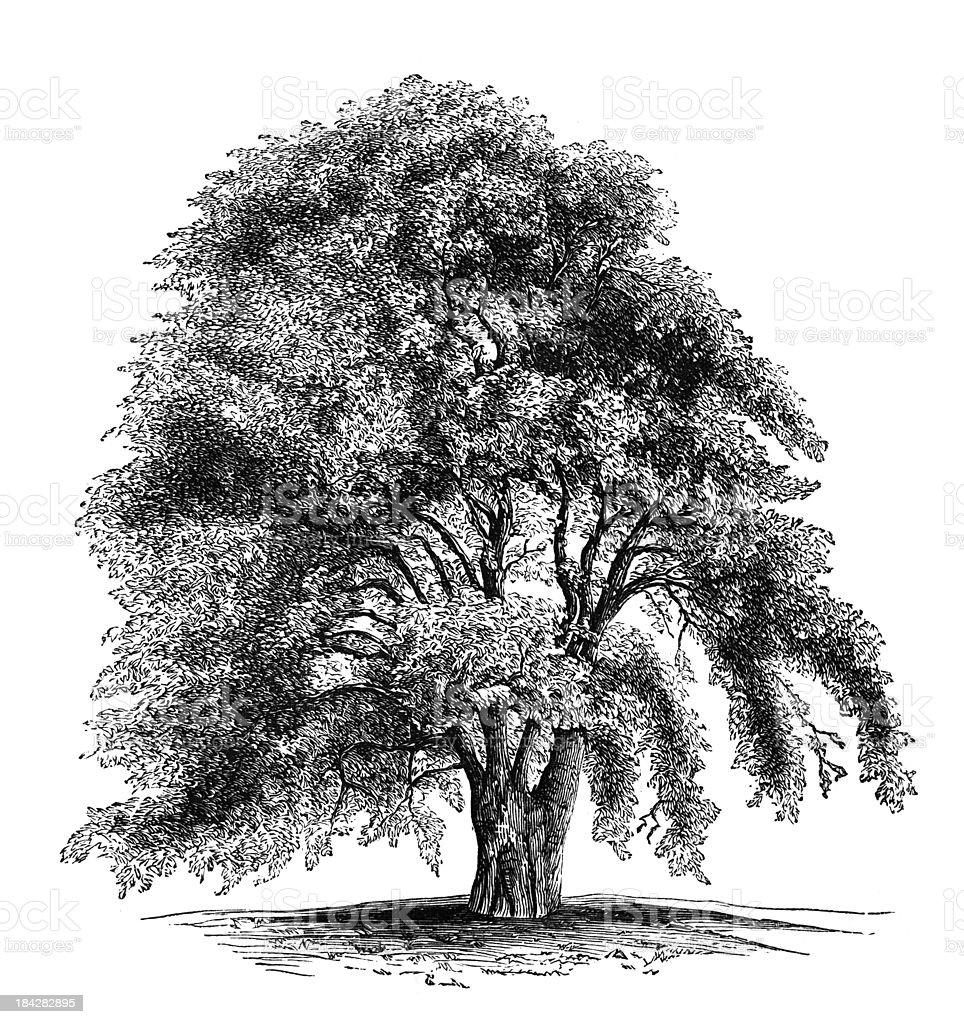 19th century engraving of an oriental plane tree or sycamore royalty-free stock vector art