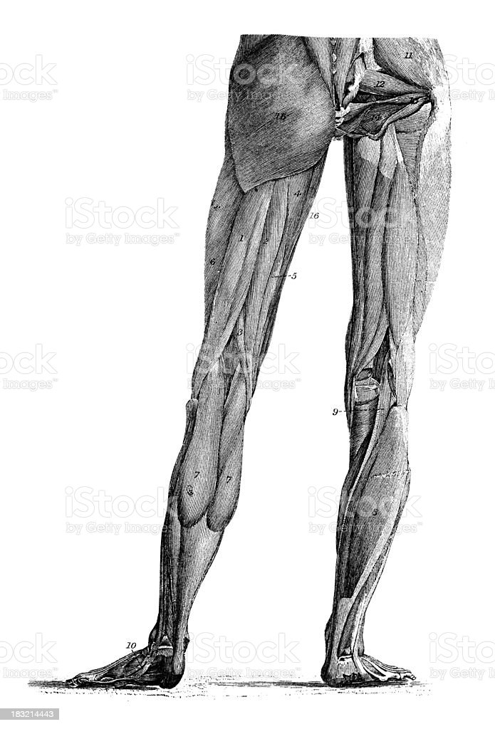 19th century engraving of human leg muscles royalty-free stock vector art