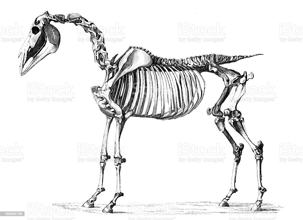 19th century engraving skeleton of a horse royalty-free stock vector art