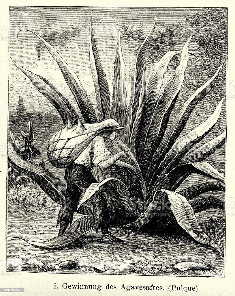 19th Century Mexico - Harvesting agave juice vector art illustration