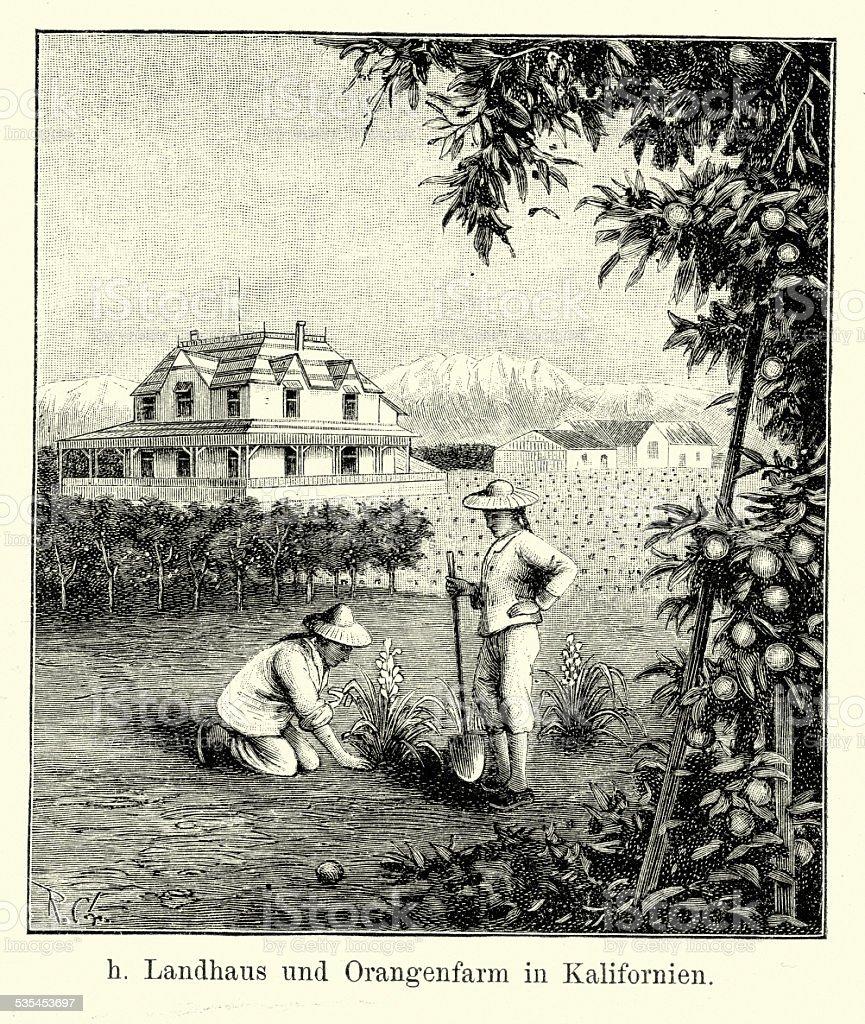 19th Century North America -  Californian Orange Farm vector art illustration