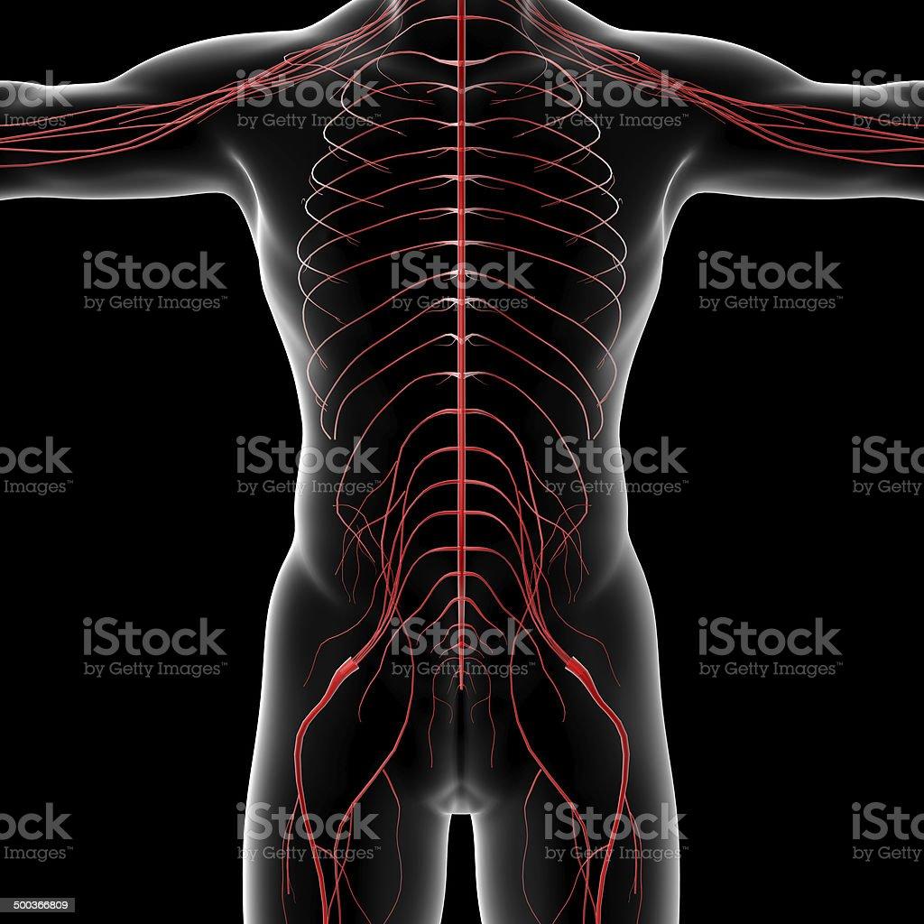 3d rendered illustration of the male nervous system vector art illustration