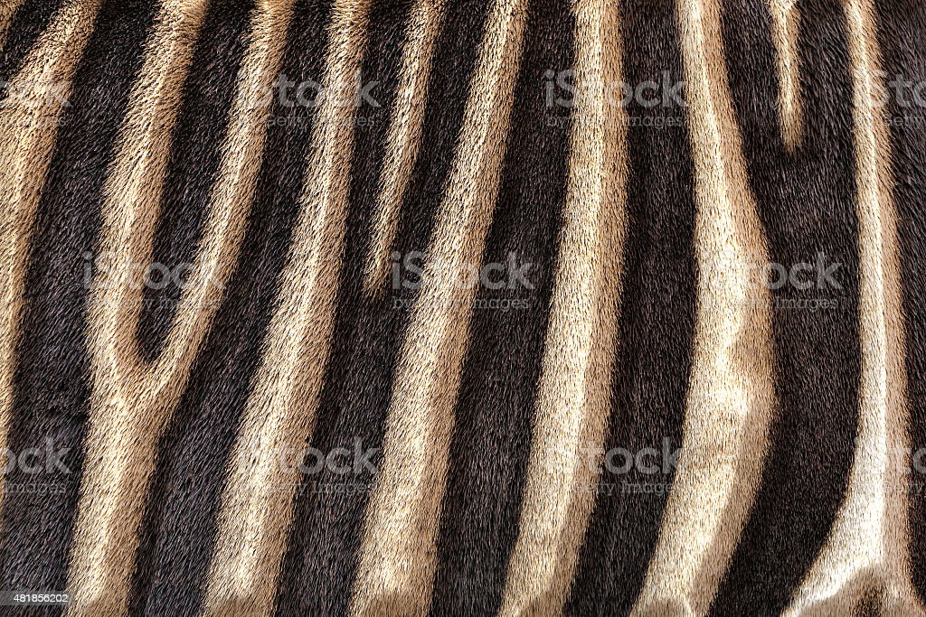 Abstract embossed background of zebra stripes. vector art illustration