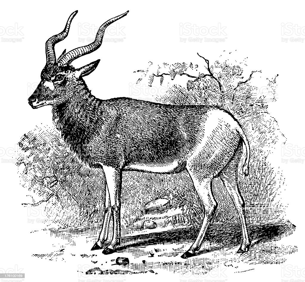 Addax Antelope | Antique Animal Illustrations royalty-free stock vector art