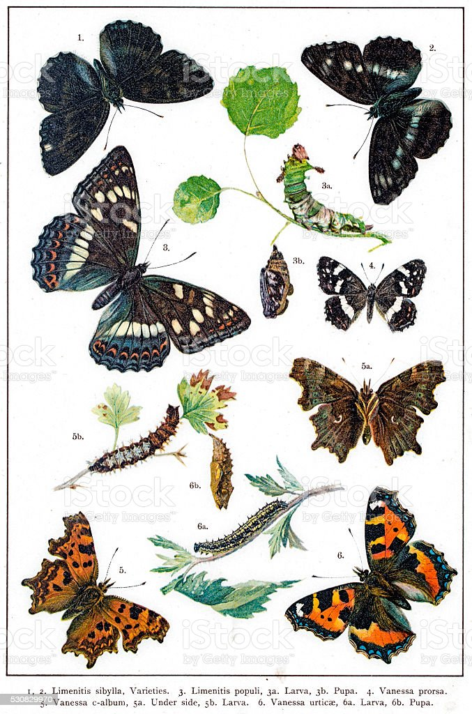 Admiral and Vanessa butterflies of Europe vector art illustration