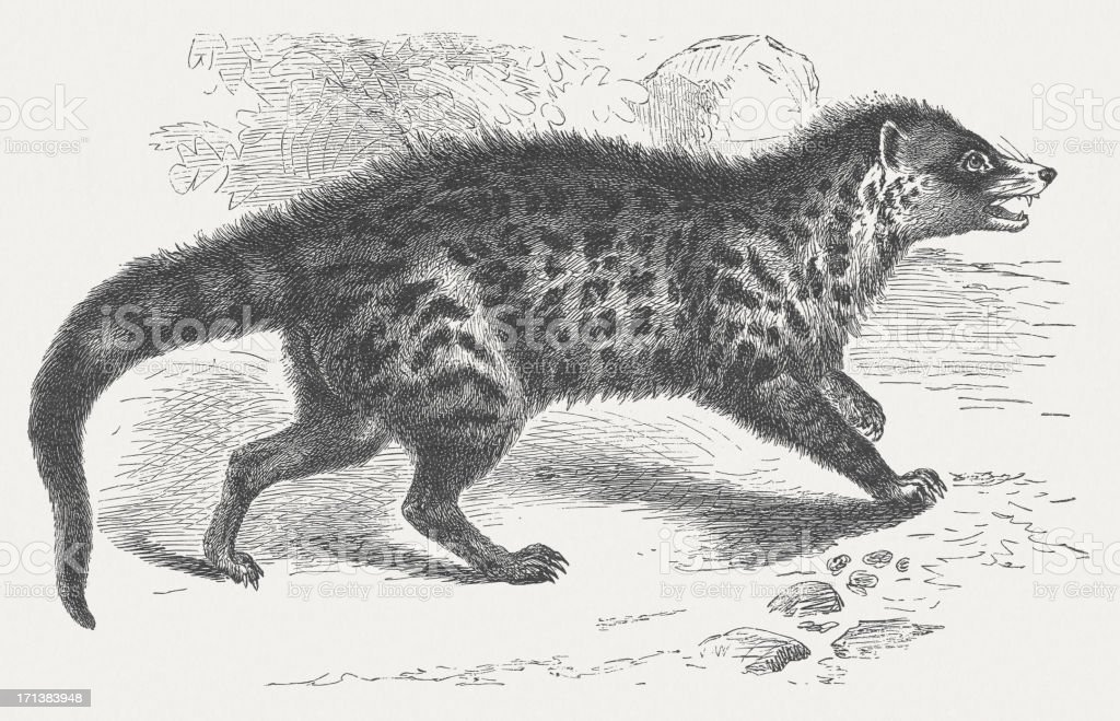 African Civet (Civettictis civetta), wood engraving, published in 1875 royalty-free stock vector art