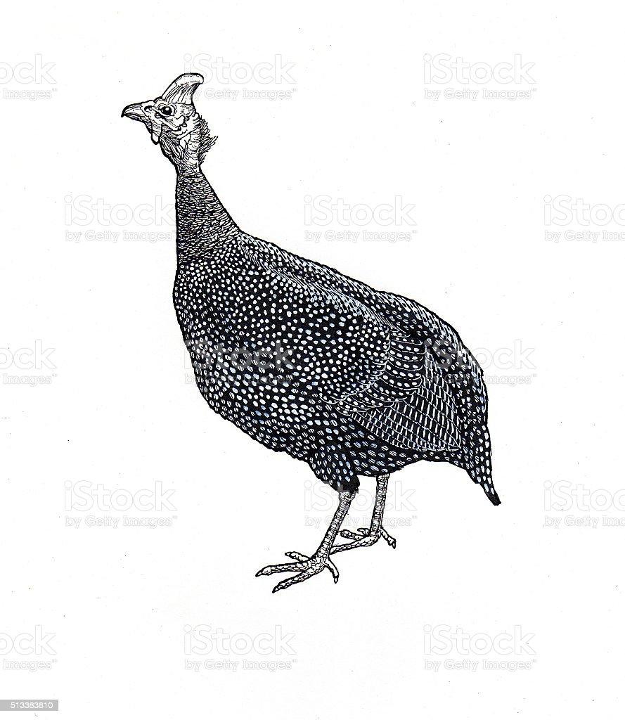 Afrikanische Salbei-Hen Lizenzfreies vektor illustration