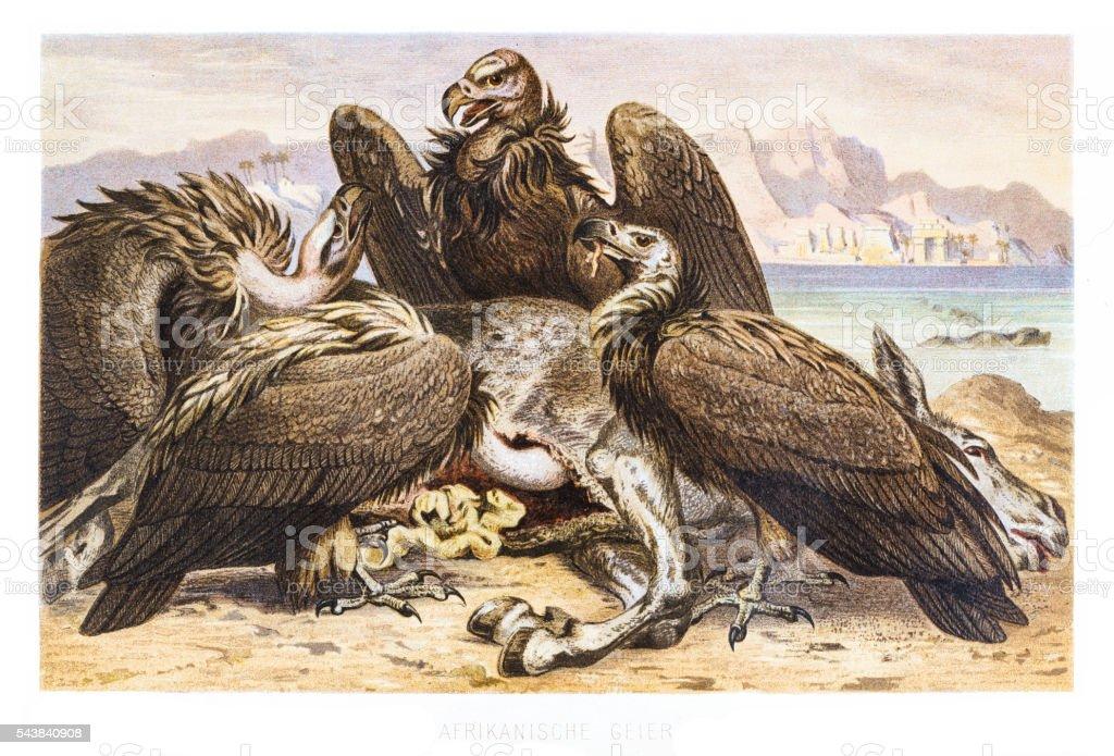 African Vultures engraving 1882 vector art illustration