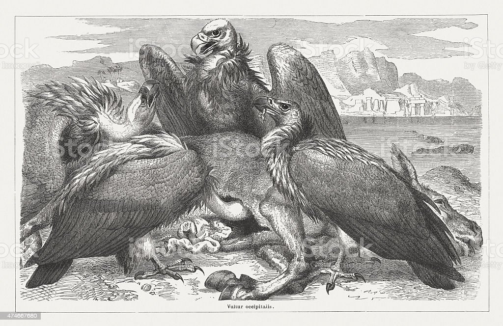 African white-backed vulture, wood engraving, published in 1876 vector art illustration