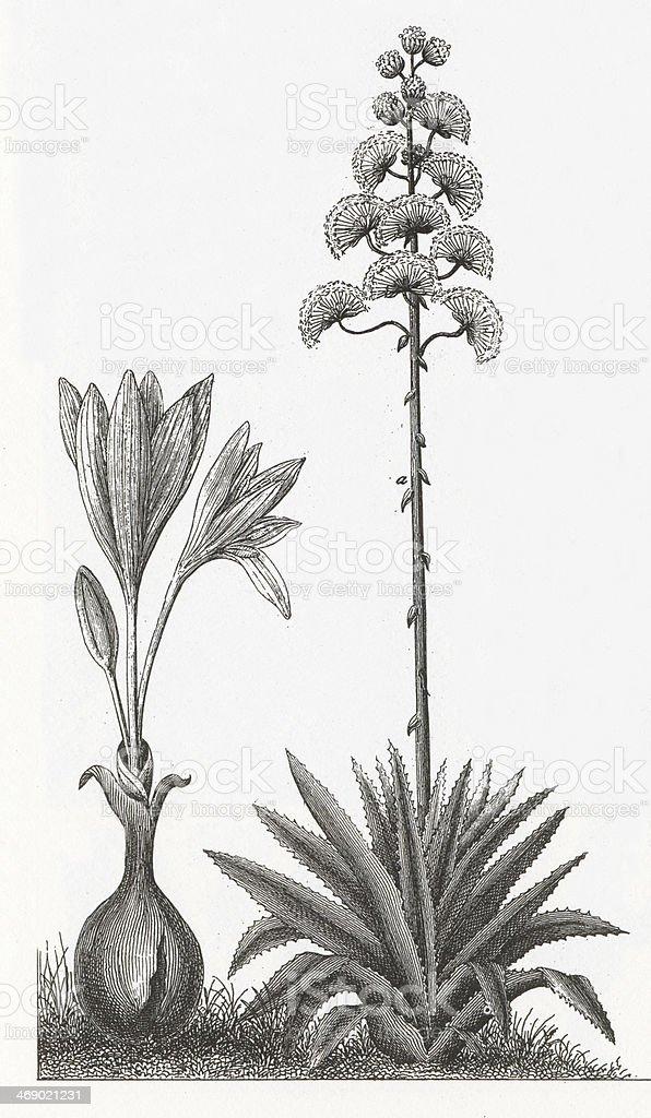 Agave Plant Engraving vector art illustration
