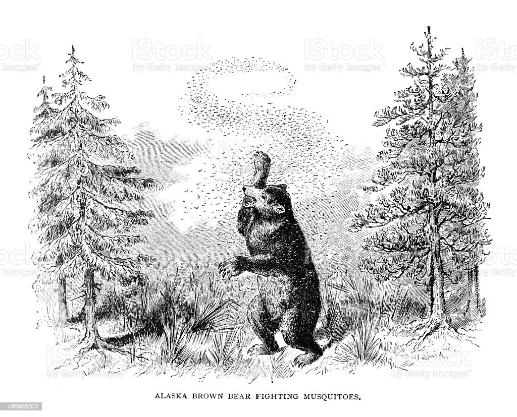 Alaska Brown Bear fighting mosquitoes vector art illustration