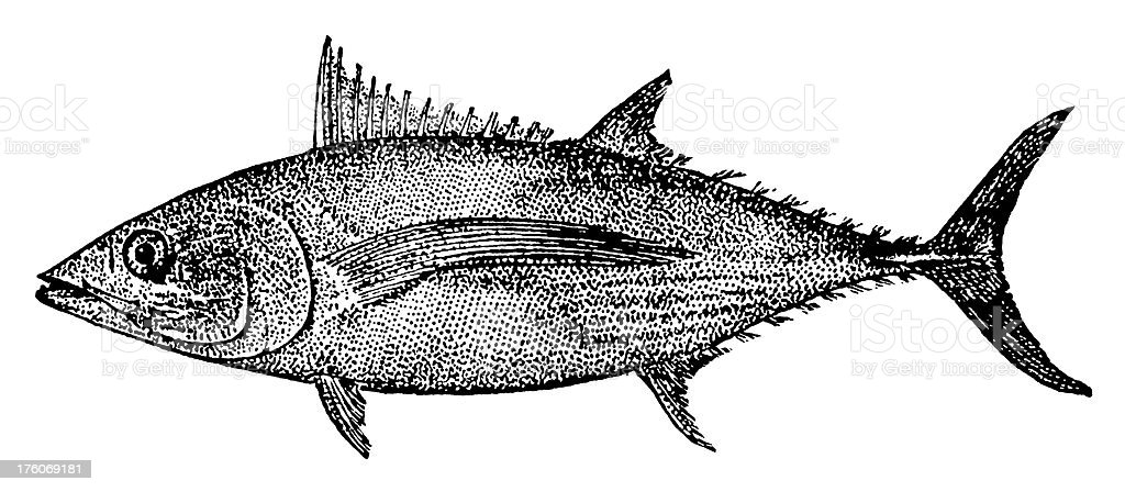 Albacore Tuna | Antique Animal Illustrations royalty-free stock vector art