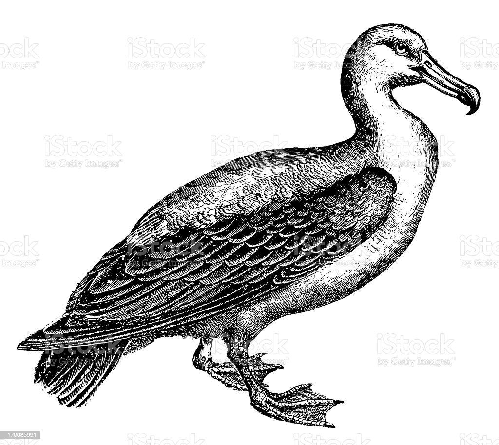 Albatross | Antique Bird Illustrations vector art illustration