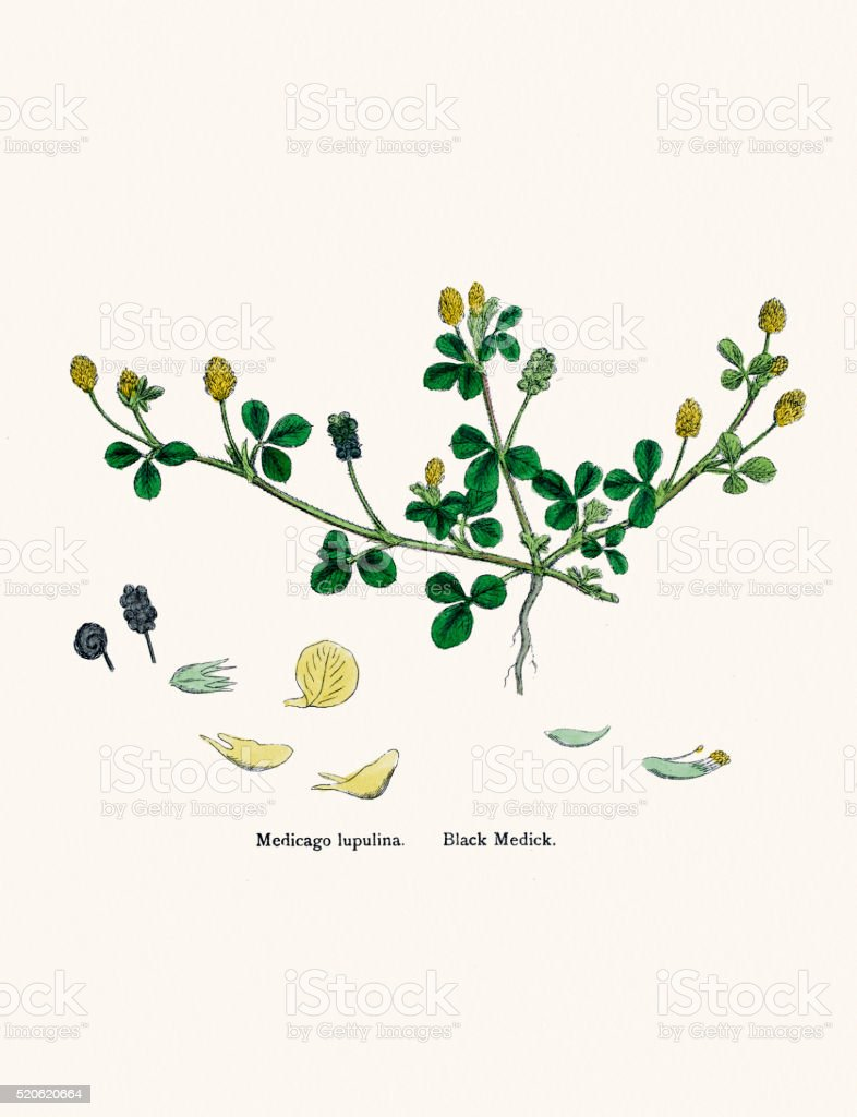 Alfalfa Lucerne Medick plant 19th century illustration vector art illustration