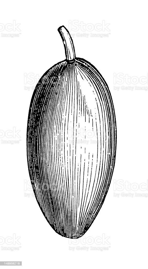 Almond Fruit vector art illustration