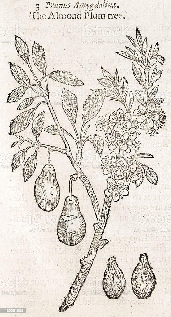 Almond plum, 17 century botanical illustration vector art illustration