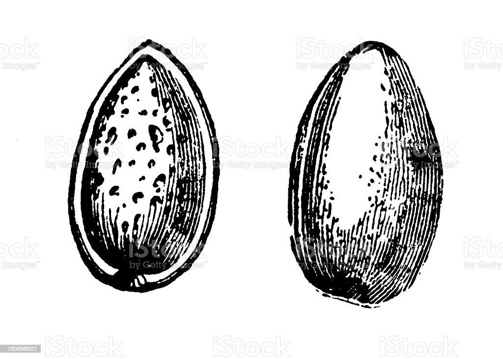Almond Shell and Fruit Illustration   Vintage Farmer Garden Clip vector art illustration