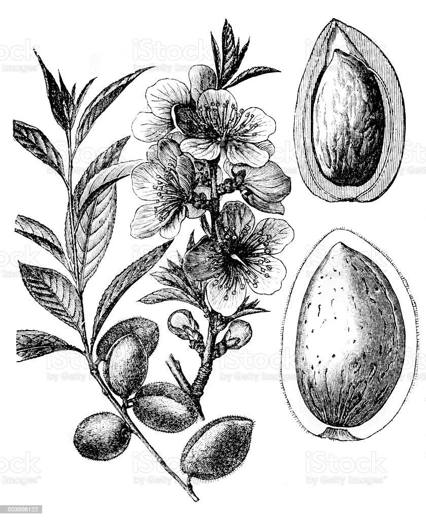 Almond tree (Prunus dulcis, Prunus amygdalus) vector art illustration