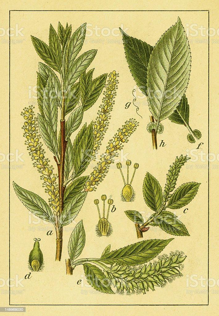 Almond willow   Antique Flower Illustrations vector art illustration