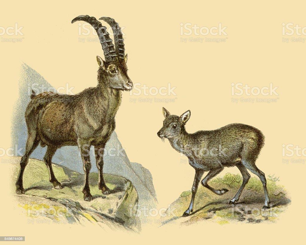 Alpine ibex goat and musk deer 1888 vector art illustration