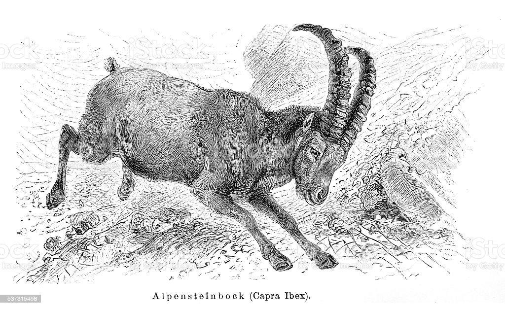 Alpine ibex goat engraving 1897 vector art illustration